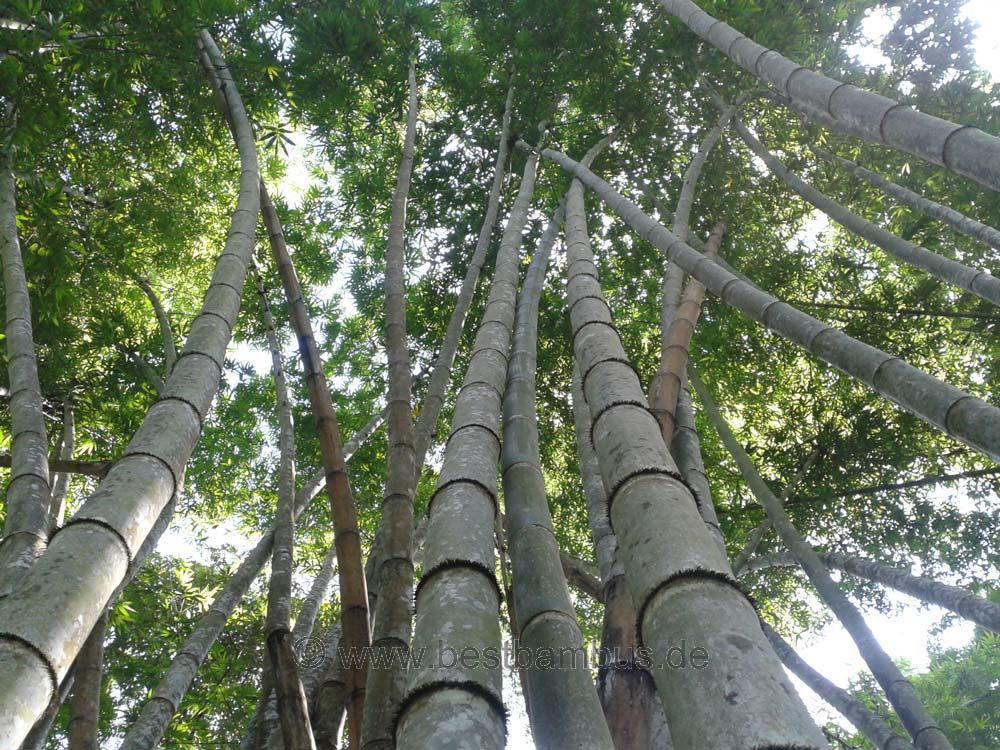 Bambus Pflanze Wissen Holz Oder Gras