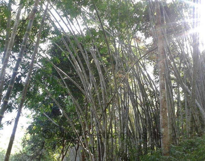 Bambus ein nachhaltiger Rohstoff oekologisch wertvoll