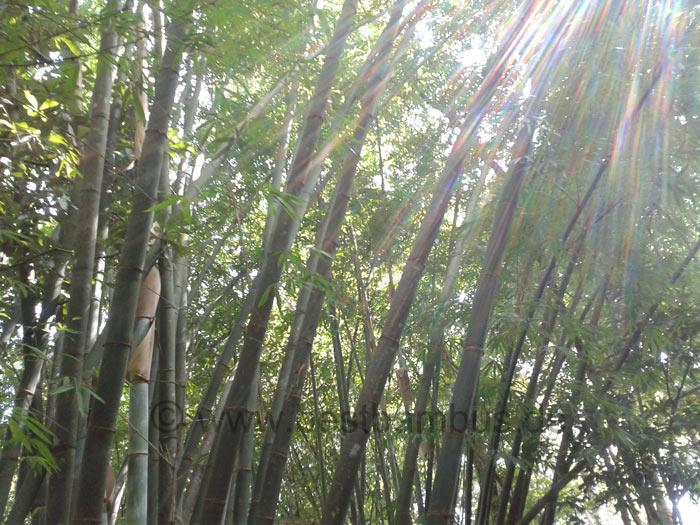 Bambus Pflanze Wissen