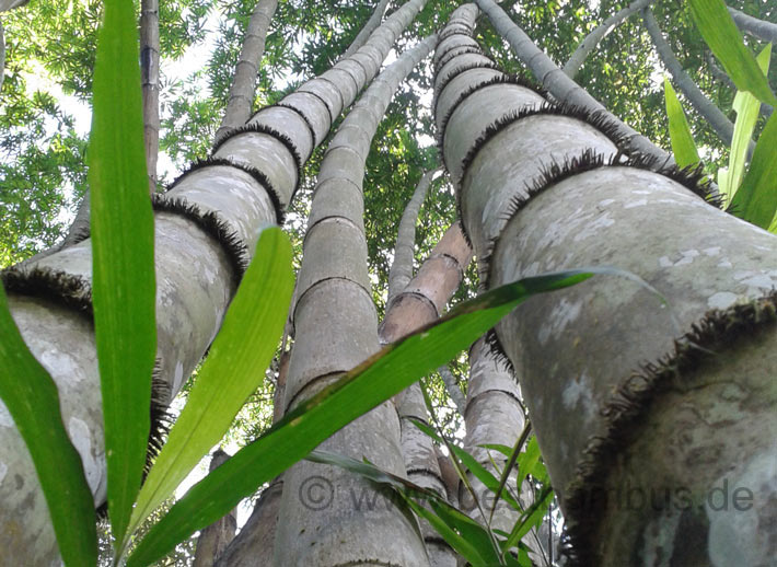 Bambus-Halm-Naturholz