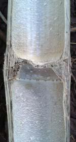 Bambus Holz Segment