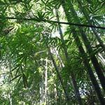 bambus landschaft