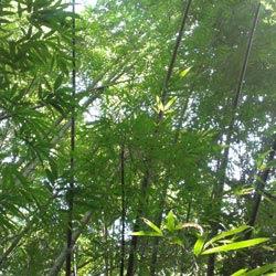 bambus immer grün