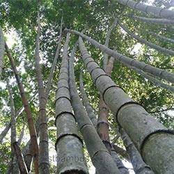 giant moso bambus